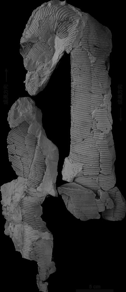 産出化石 ディプロモセラス シリンドラセアム(Diplomoceras cylindraceum)
