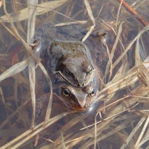 自然観察会   エゾアカガエルのラブコールを聴こう