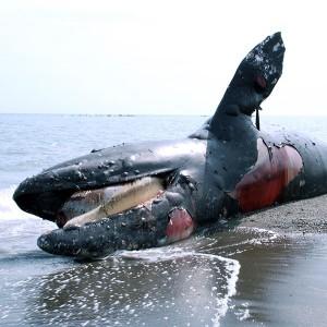 漂着するクジラを追って 【文化の日講演会】