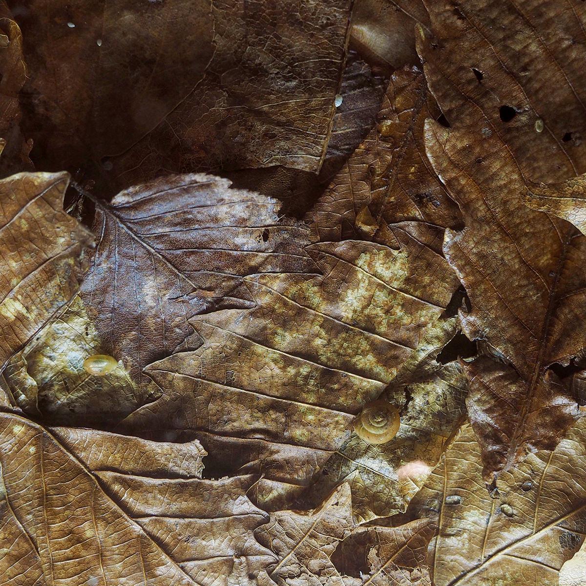 【中止】自然観察会   落ち葉の下のカタツムリをさがそう