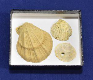 子どもワークショップ<br>貝の化石で標本をつくろう!